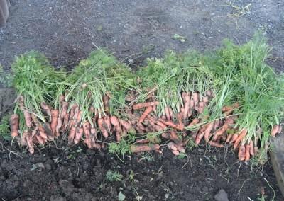 Crop of carrots 2013