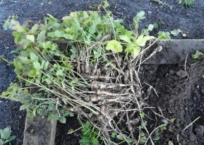 Crop of parsnips 2013